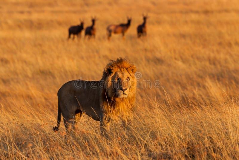 在日出的大狮子在马塞语玛拉 库存照片