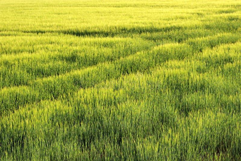 在日出的大麦领域 图库摄影