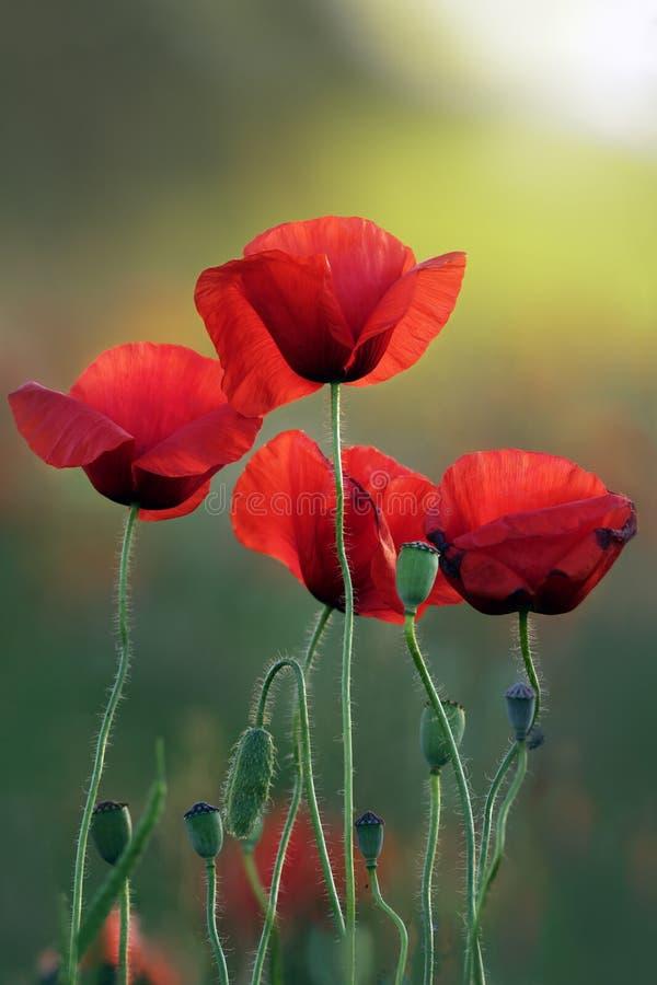 在日出的开花的鸦片 库存图片