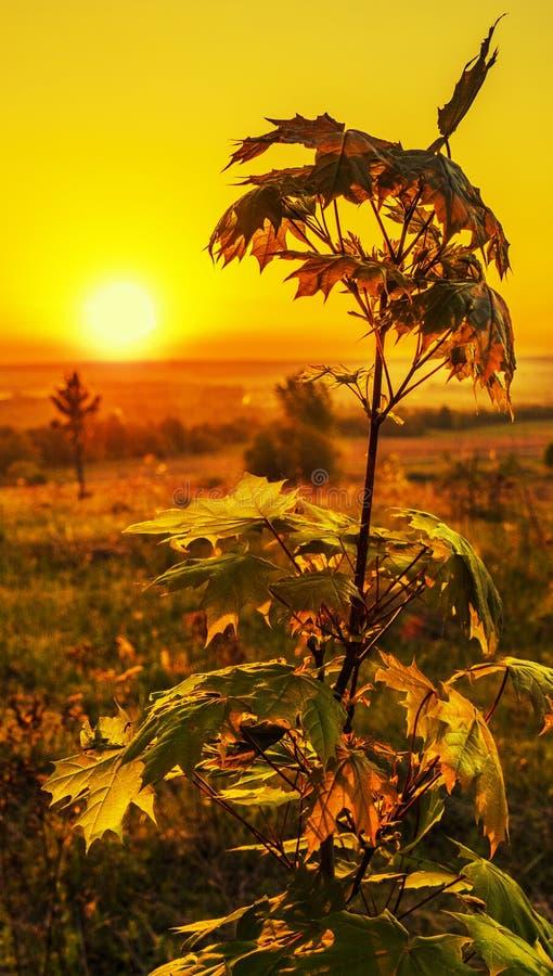在日出的槭树在背后照明 库存图片