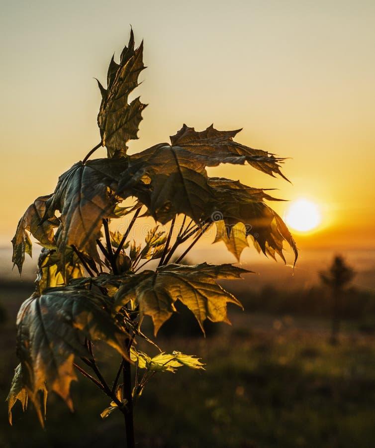 在日出的槭树在背后照明 图库摄影