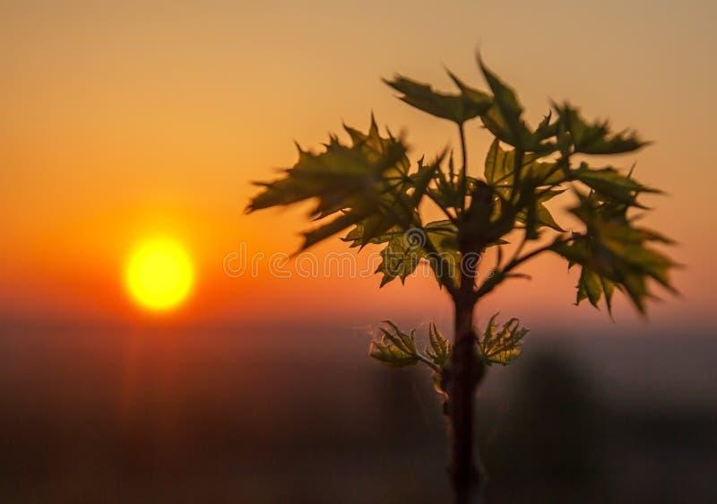 在日出的槭树在背后照明 库存照片