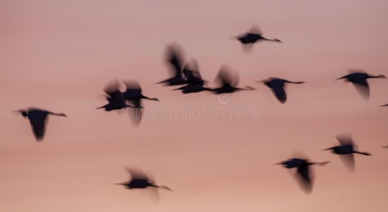 在日出的模糊的小白鹭剪影