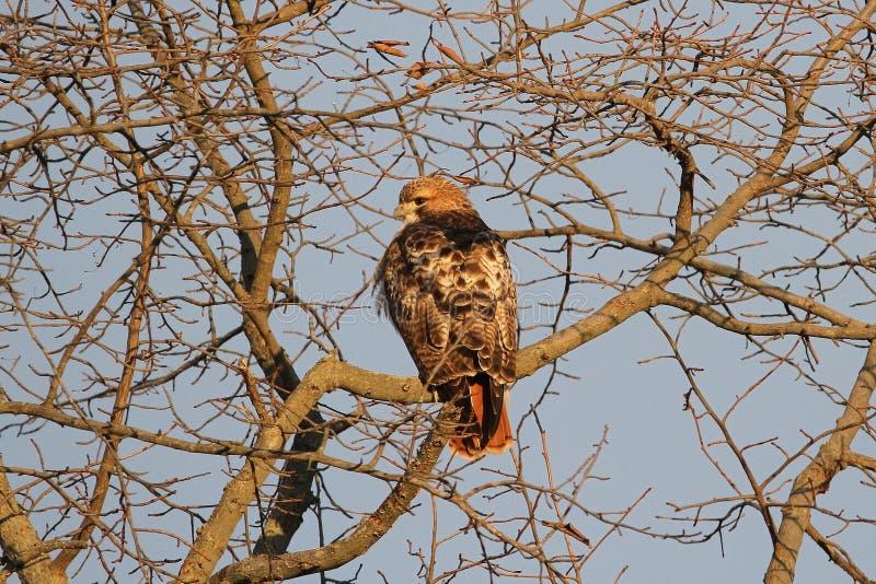 在日出的红色尾巴鹰 免版税库存图片