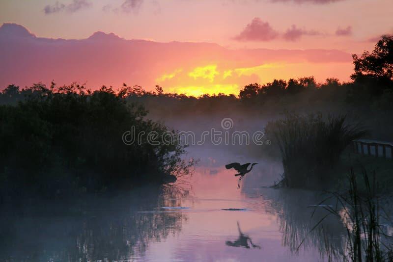 在日出的苍鹭在沼泽地