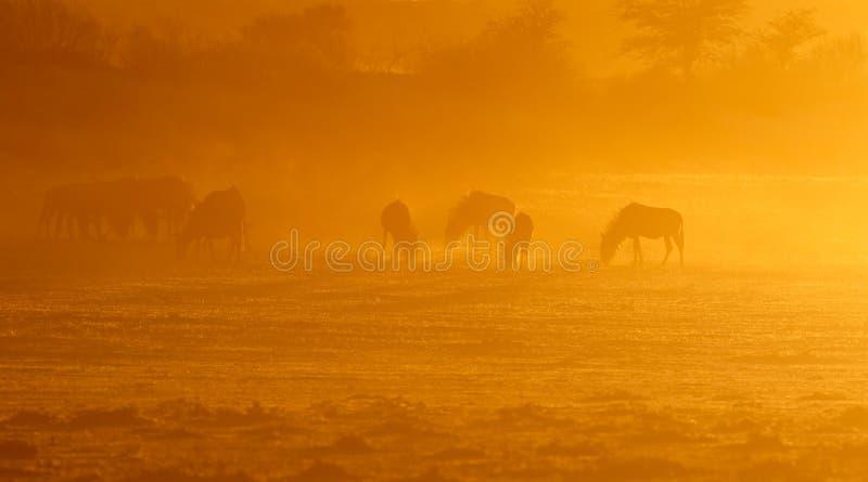 在日出的蓝色角马-喀拉哈里沙漠 库存照片