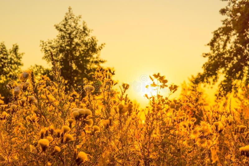 在日出的蓟花 免版税图库摄影