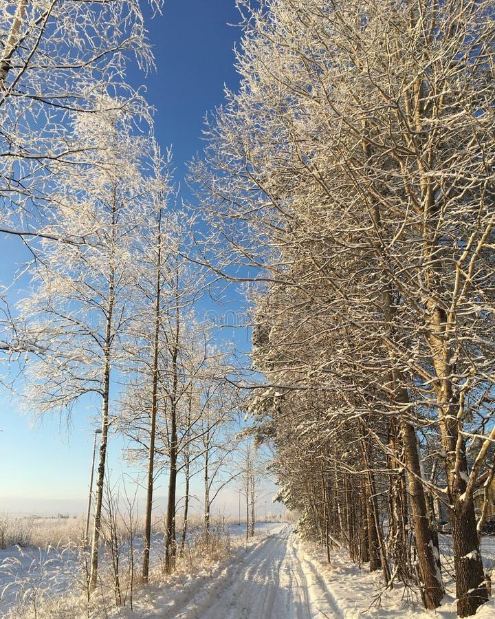 在日出的雪树 库存图片
