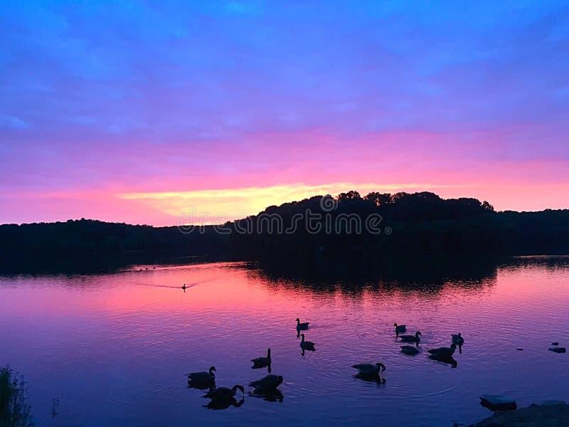 在日出的鹅 免版税图库摄影