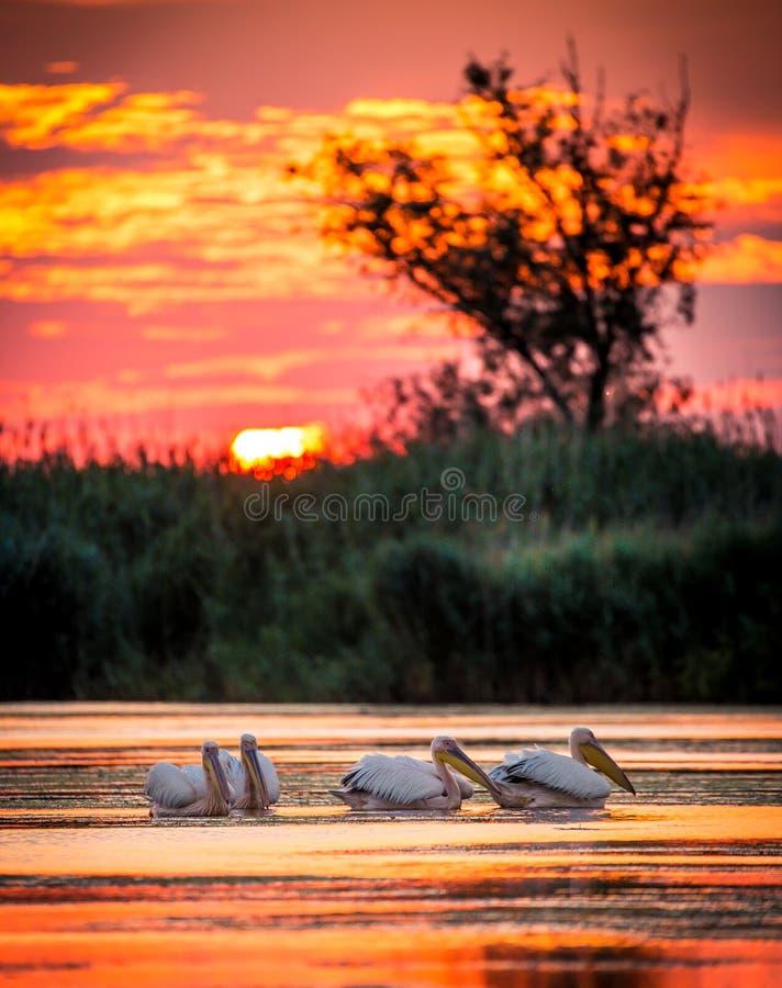 在日出的鹈鹕在多瑙河三角洲,罗马尼亚 免版税库存照片