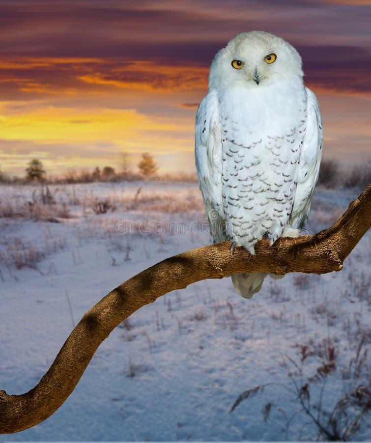 在日出蒂姆的斯诺伊猫头鹰 免版税库存照片