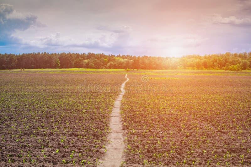 在日出被阐明的领域发芽了,低,甜,年轻玉米 库存图片