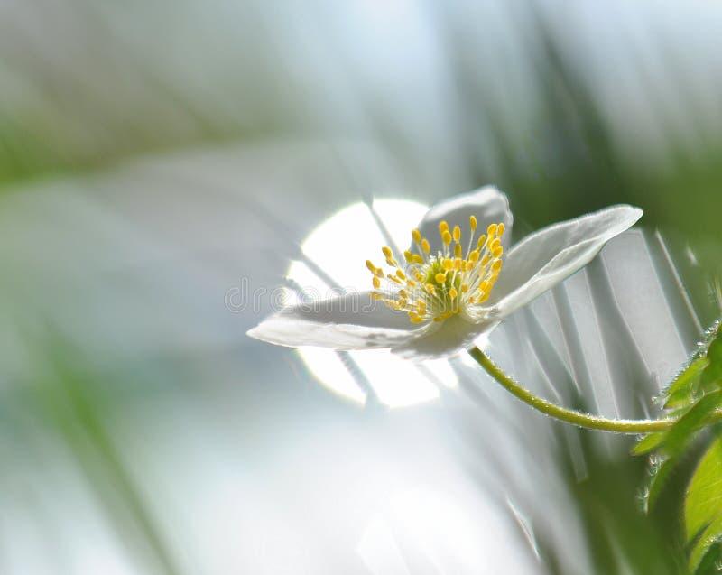 在日出,光在木anemon银莲花属Nemorosa的早晨 免版税库存照片