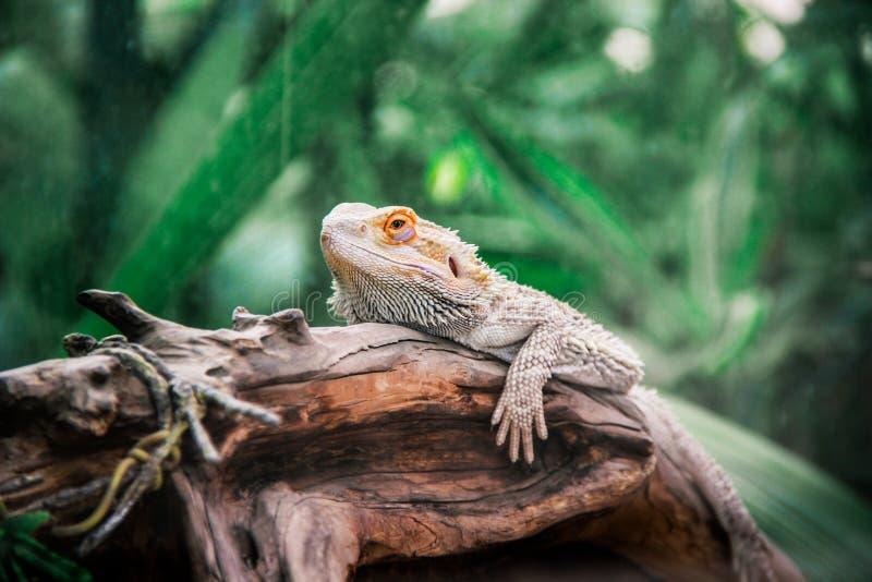 在日志的变色蜥蜴 免版税库存照片