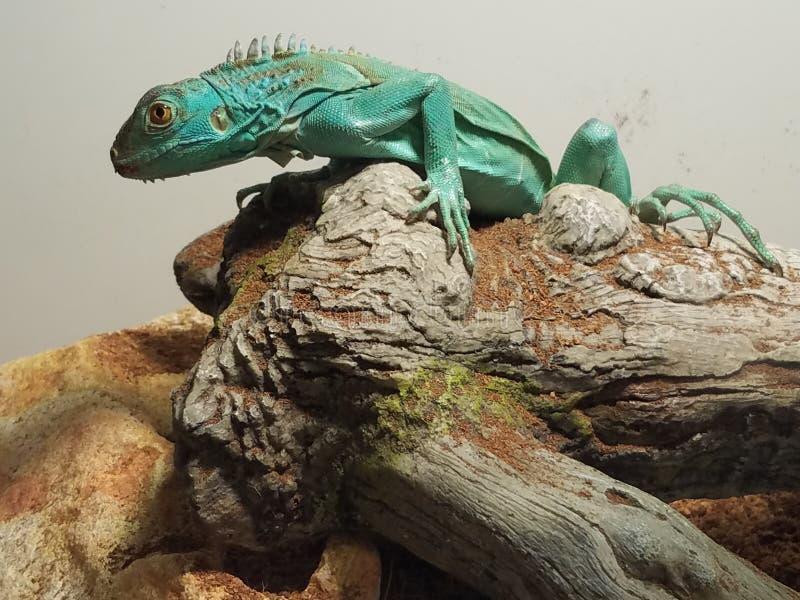 在日志的幼小蓝色鬣鳞蜥 免版税图库摄影