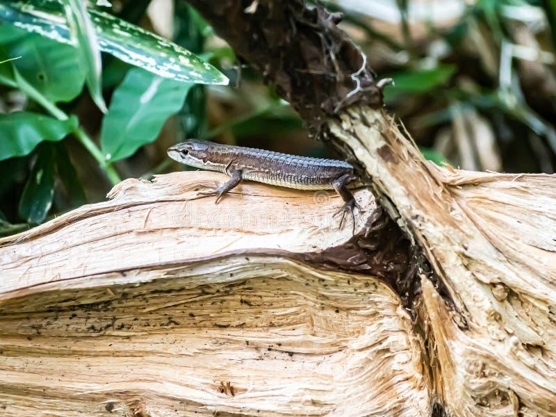 在日志1的日本草蜥蜴 免版税库存图片