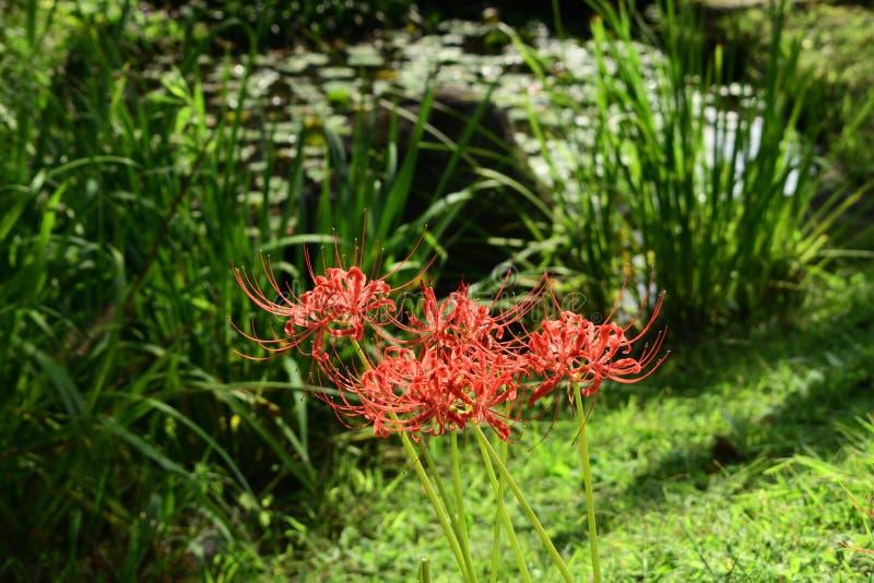 在日本庭院,京都日本的红蜘蛛百合 免版税图库摄影