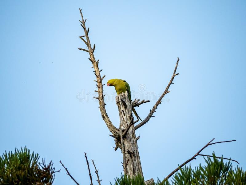 在日本树梢2的罗斯圈状的长尾小鹦鹉 免版税库存图片