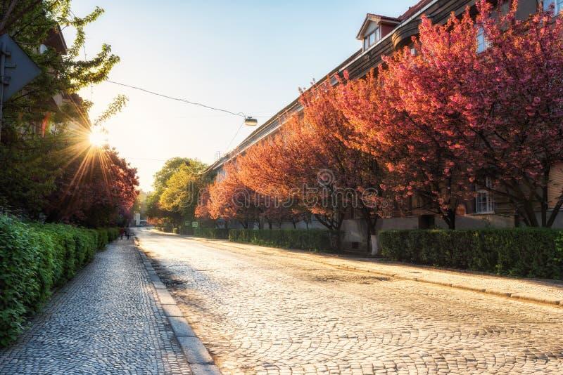 在日本樱桃或佐仓树开花,乌日霍罗德,乌克兰期间的老欧洲镇 免版税库存图片