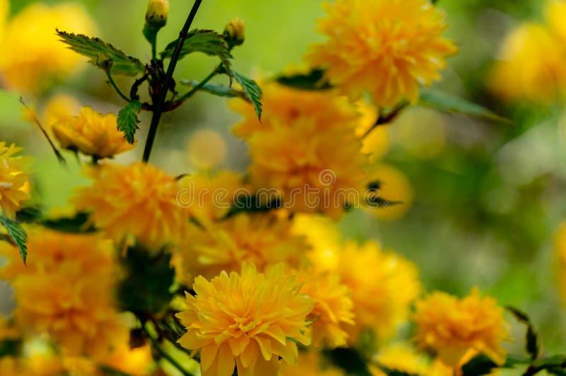 在日本kerria或Kerria japonica pleniflora明亮的黄色花前景的选择聚焦  库存照片