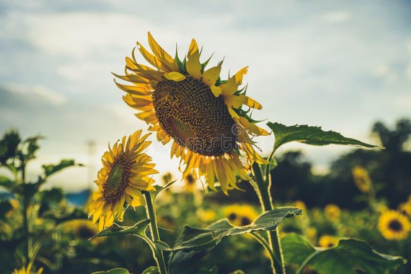 在日落之前的向日葵 免版税库存照片