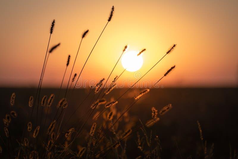 在日落光的秋天草 库存图片