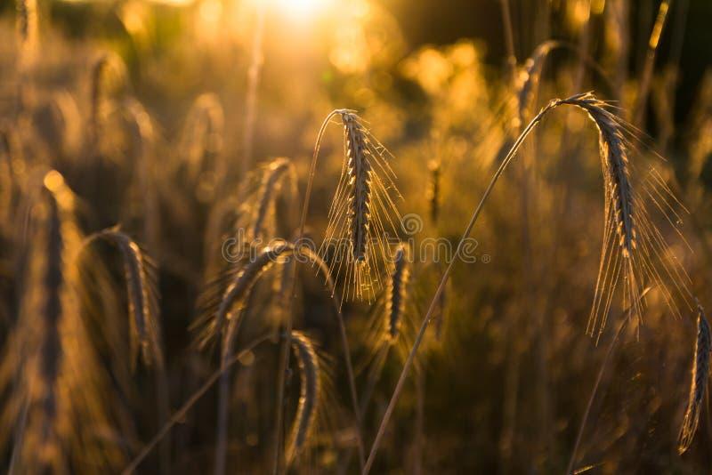在日落关闭的大麦领域 库存照片