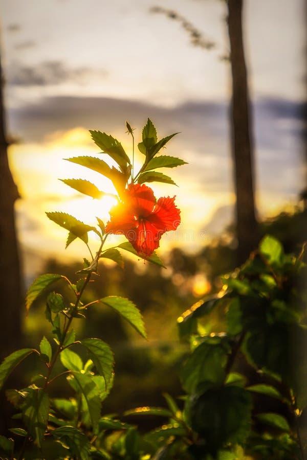 在日落前的红色木槿花 加勒比,多米尼加共和国 库存照片