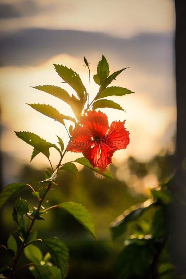 在日落前的红色木槿花 加勒比,多米尼加共和国 免版税库存照片