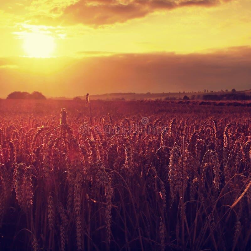 在日落多云橙色天空背景落日光芒的早晨黄色麦田在农村草甸关闭的天际自然 图库摄影