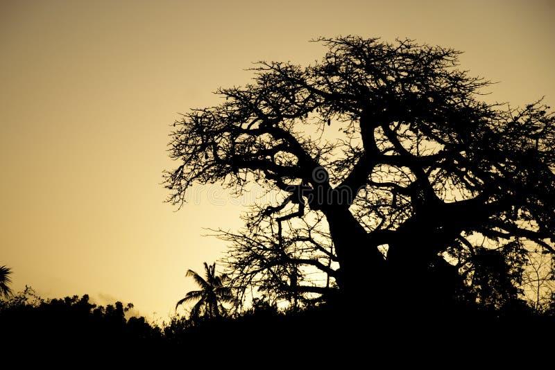 在日落天空的猴面包树剪影 免版税库存照片
