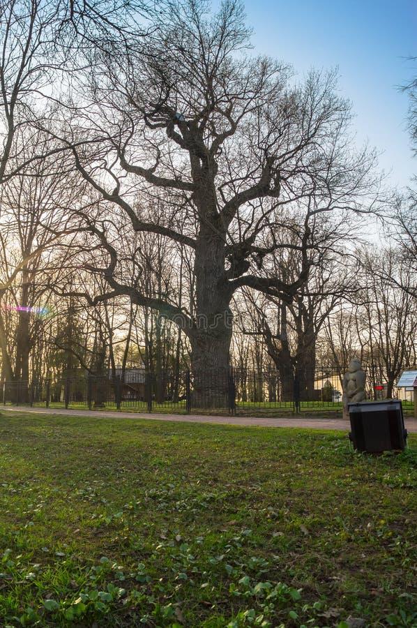 在日落天空背景的古老橡木树在早期的春天 Kolomenskoye庄园博物馆,莫斯科 免版税库存照片