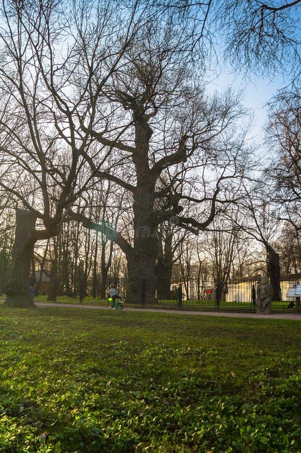 在日落天空背景的古老橡木树在早期的春天 Kolomenskoye庄园博物馆,莫斯科 库存照片