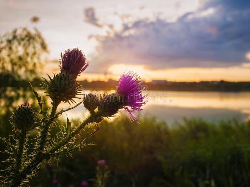 在日落天空背景的矛蓟紫色花 Cirsium vulgare、植物有脊椎的和针打翻了飞过的词根和 图库摄影