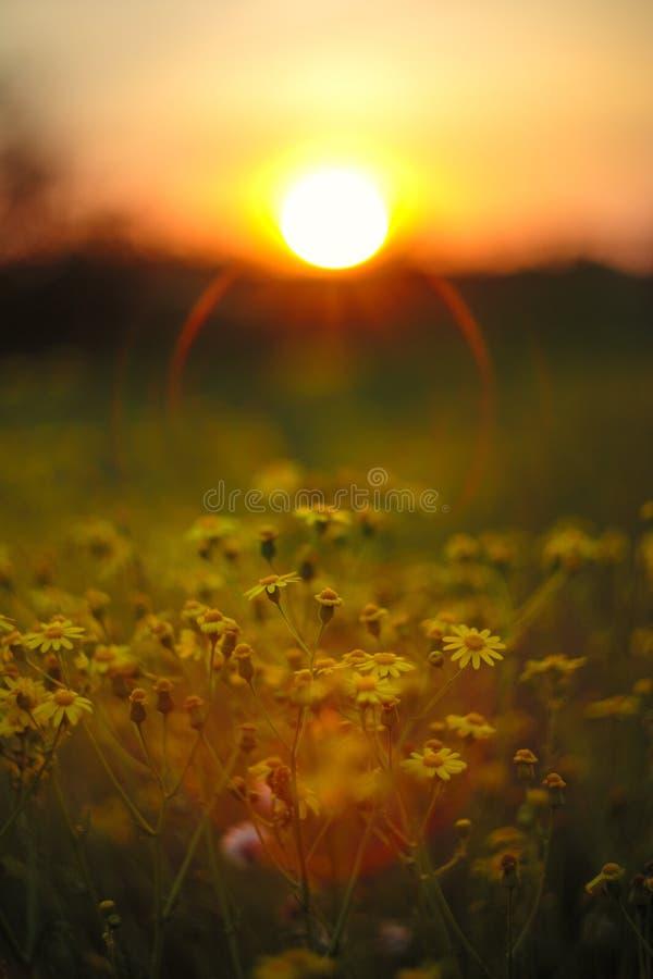 在日落天空背景的美丽的黄色春黄菊花 库存照片