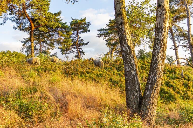 在日落期间与绵羊的区域在与云杉的树的坚固性植被和蓝莓灌木之间,得到一种淡黄色颜色 免版税库存图片