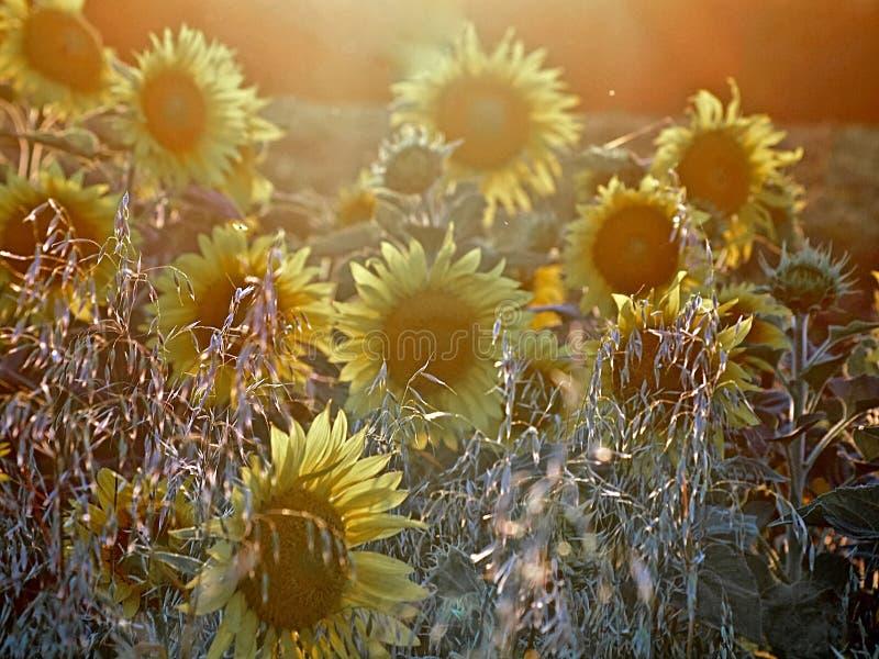 在日落期间的美好的开花的向日葵领域 免版税库存照片