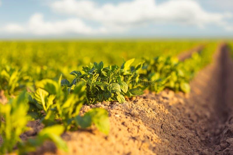 在日落期间的新绿色土豆领域 库存图片