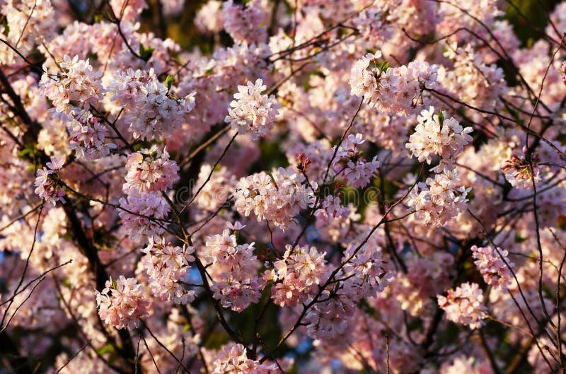 在日落期间的白色和桃红色佐仓樱花 图库摄影