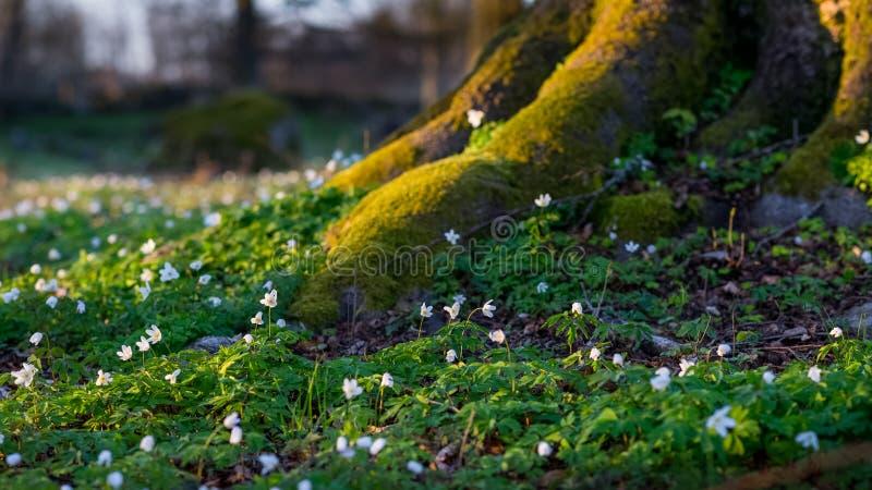 在日落的五叶银莲花Nemorosa 库存照片