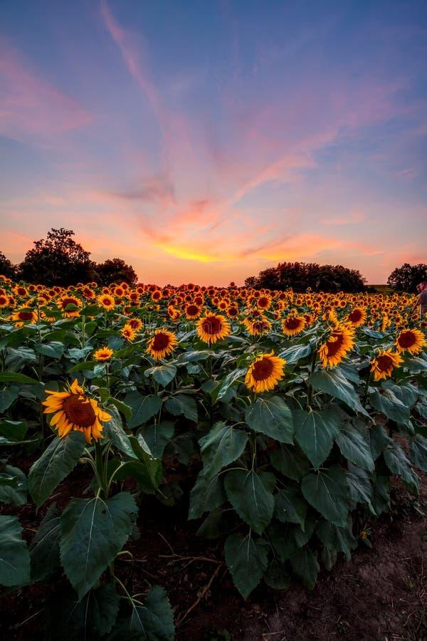 在日落的五颜六色的向日葵 免版税图库摄影