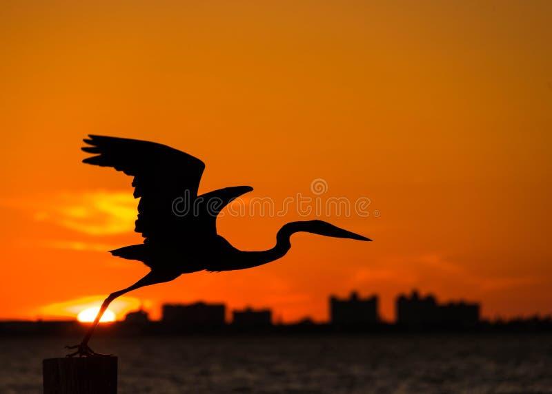 在日落的伟大蓝色的苍鹭的巢,鸟剪影 免版税库存照片