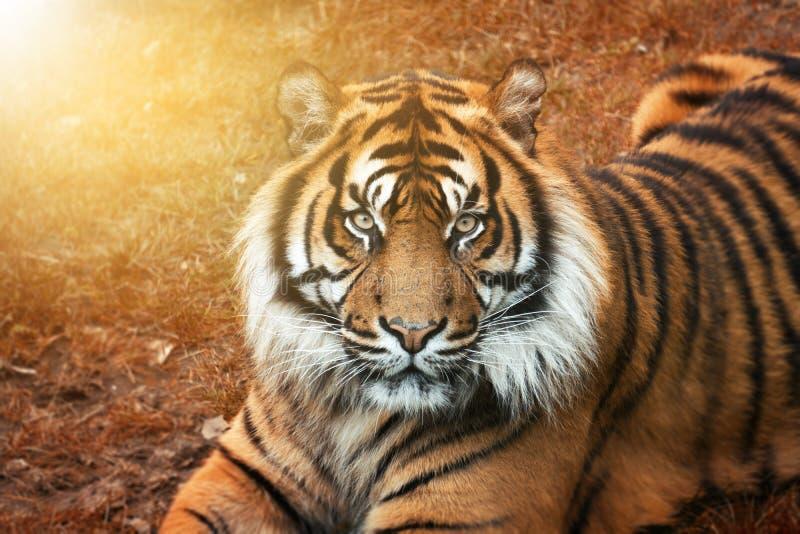 在日落的公老虎从与强烈的眼睛的画象 库存图片