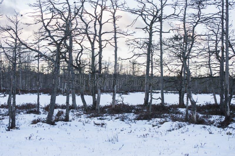 在日落的冬天风景与在用雪盖的沼泽湖海岛上的鬼的死的树 免版税库存照片