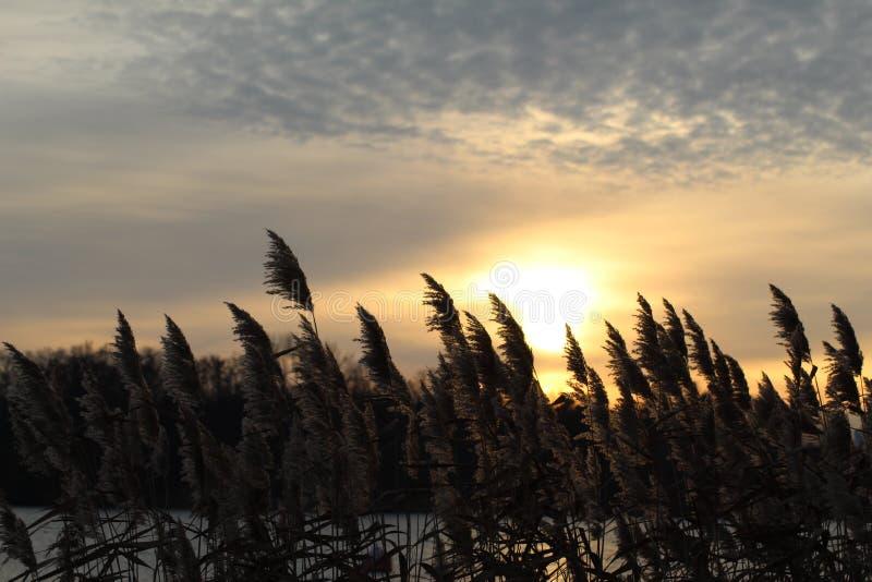在日落的冬天黑麦 免版税库存照片