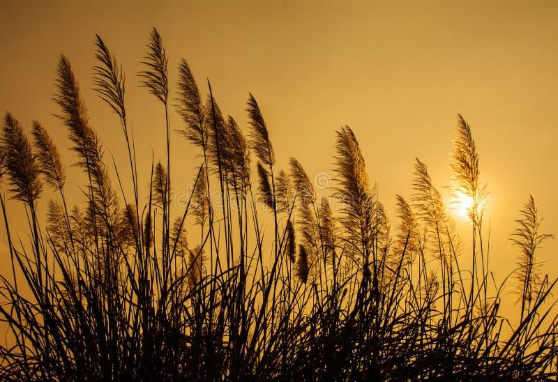 在日落的剪影草 免版税库存图片