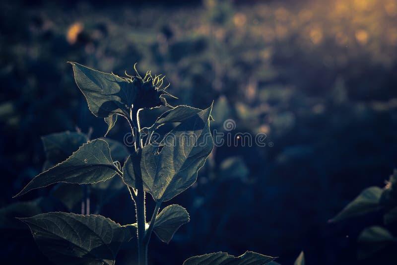 在日落的向日葵剪影 免版税库存照片