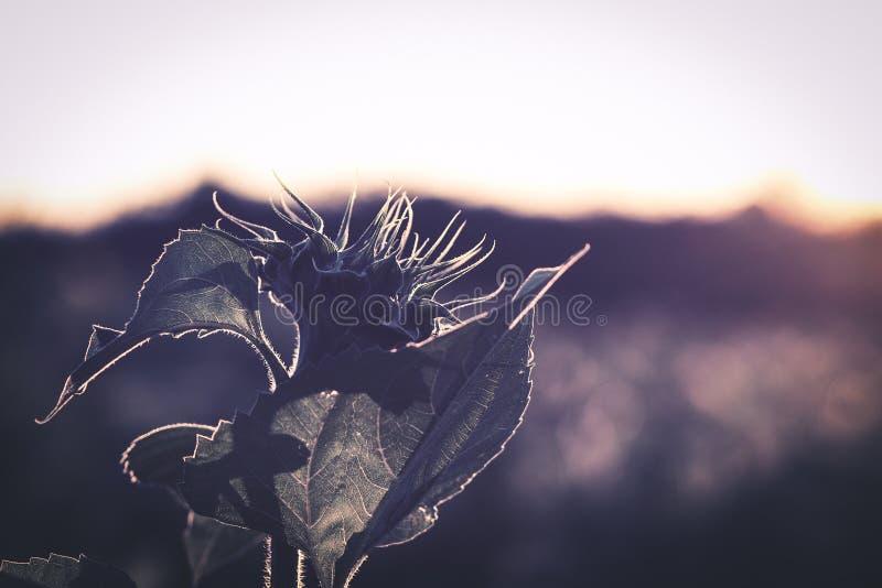 在日落的向日葵剪影 库存照片