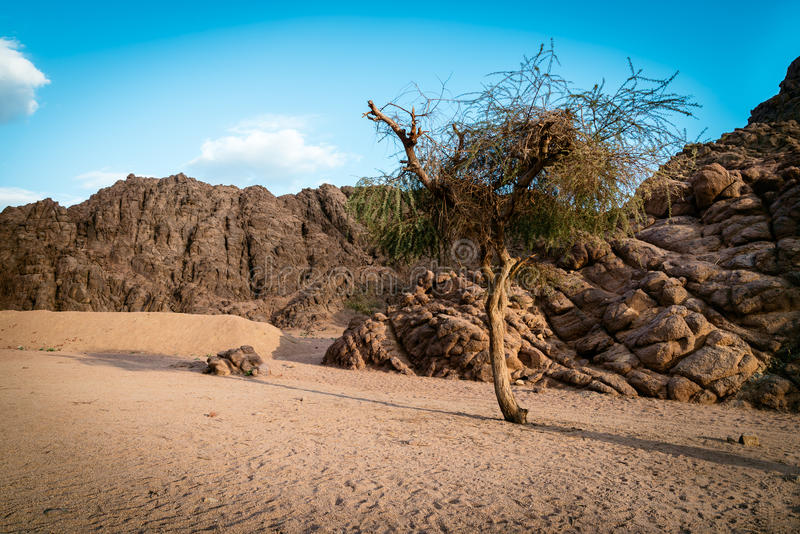 在日落的唯一树,埃及 免版税库存图片