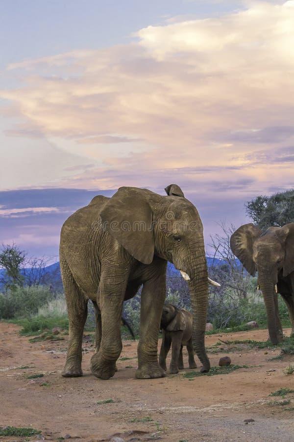 在日落的大象 免版税图库摄影